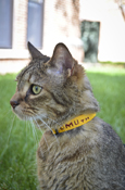 Cmu Maroon And Gold Cat Collar
